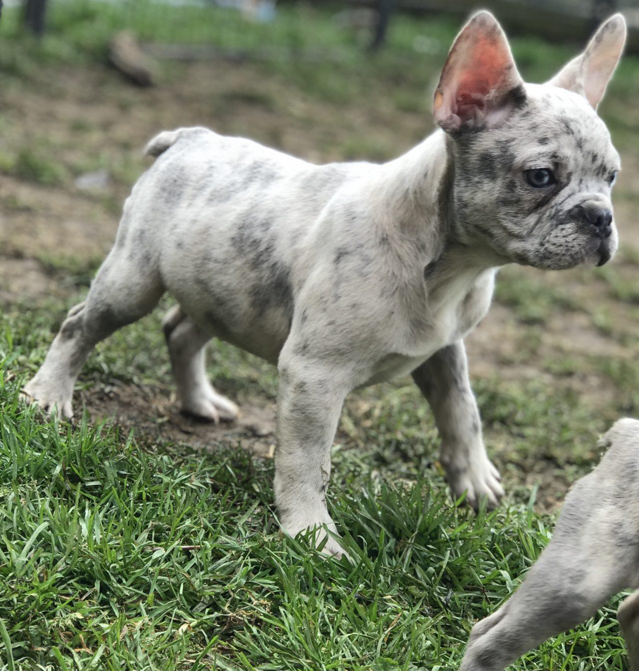 French Bulldog Breeding Services Smart K9 Fertility